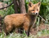fox cub 143