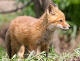 fox cub 144