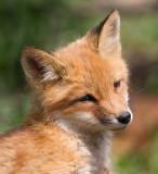 fox cub 145