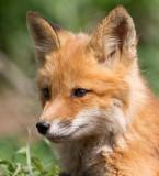 fox cub 147