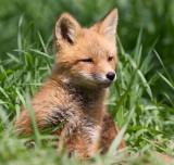 fox cub 148