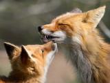 fox 12