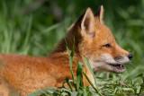 fox cub 149