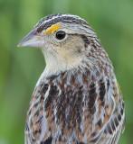 grasshopper sparrow 75