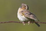 grasshopper sparrow 76