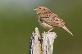 grasshopper sparrow 77