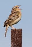 grasshopper sparrow 78