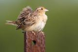 grasshopper sparrow 80