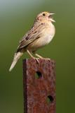 grasshopper sparrow 81