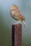 grasshopper sparrow 82