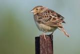 grasshopper sparrow 83