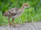 wild turkey chick 7