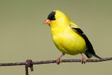 goldfinch 70.jpg