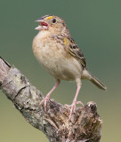 grasshopper sparrow 84