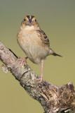 grasshopper sparrow 85