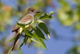 great crested flycatcher 8