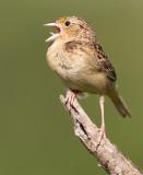 grasshopper sparrow 86