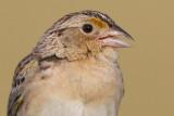 grasshopper sparrow 87