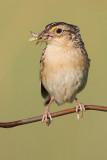 grasshopper sparrow 88