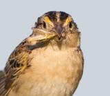 grasshopper sparrow 89