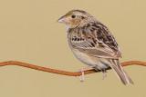 grasshopper sparrow 90