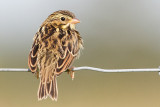 juvenile savannah sparrow 10