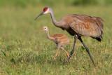 sandhill crane 261