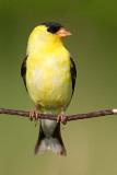 goldfinch 71