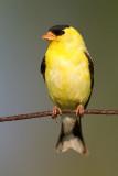 goldfinch 72