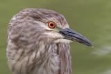 immature black-crowned nigh heron 388