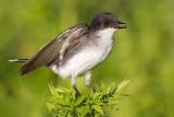 eastern kingbird 29