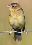 juvenile bobolink 31
