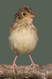juvenile grasshopper sparrow 34