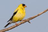 goldfinch 74