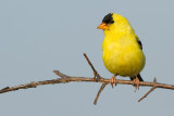 goldfinch 75