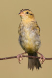 juvenile bobolink 38