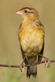 juvenile bobolink 39
