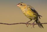 juvenile bobolink 40