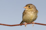juvenile grasshopper sparrow 35