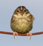 juvenile grasshopper sparrow 36