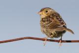 juvenile grasshopper sparrow 37