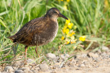 juvenile virginia rail 2