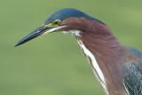 green heron 86