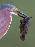 green heron 88