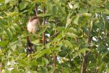 Yellow Billed Cuckoo