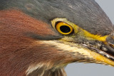 green heron 94