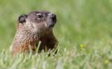 groundhog 4