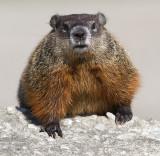 groundhog 8