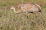 sandhill crane colt 112