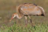sandhill crane colt 113